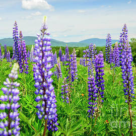Alana Ranney - Rangeley, ME -A field of  Lupines