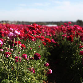 Ranunculus Field by Portraits By NC