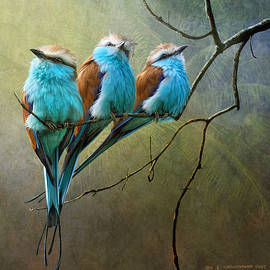 Raquet Tailed Rollers by R christopher Vest