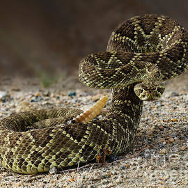 Mohave Green Rattlesnake Striking Position 2 by Bob Christopher
