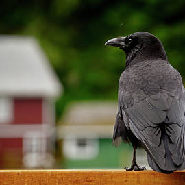 Raven in Telegraph Cove by Inge Riis McDonald