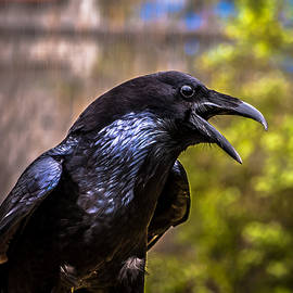 Raven Profile by Blake Webster