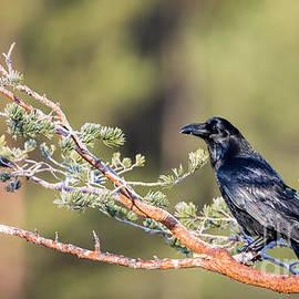 Raven by Torbjorn Swenelius