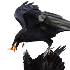 Ravens by Jane Melgaard