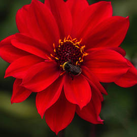 Ravishing Red Dahlia With Bee by Venetia Featherstone-Witty