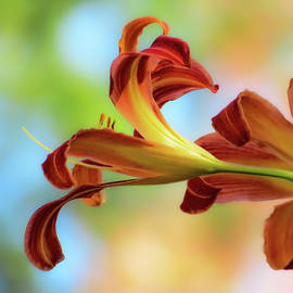MTBobbins Photography - Reaching Out - Daylilies