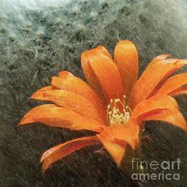 Rebutia Muscula Bright Orange Flower by Heiko Koehrer-Wagner