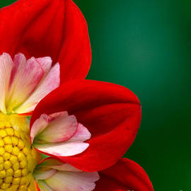 Red and White Dahlia by Bob Zuber