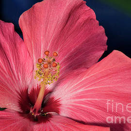Red and White Hibiscus by Norman Gabitzsch