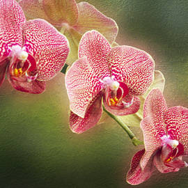 Mother Nature - Red and White Orchids on a Stem