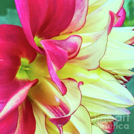 Jill Greenaway - Red and Yellow Dahlia Macro 1