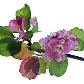 Robert Murray - Red Apple Blossom
