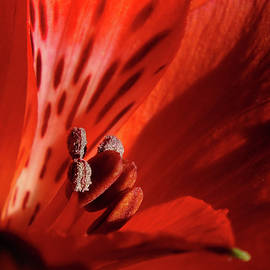 Bill Morgenstern - Red Beauty