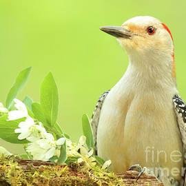 Max Allen - Red-bellied Woodpecker Among Flowers