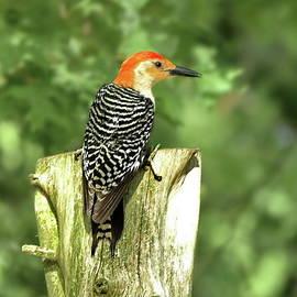 Lyuba Filatova - Red-bellied Woodpecker Male