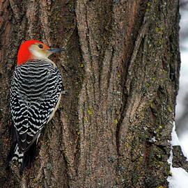 Codee Hart - Red-bellied Woodpecker - Melanerpes carolinus
