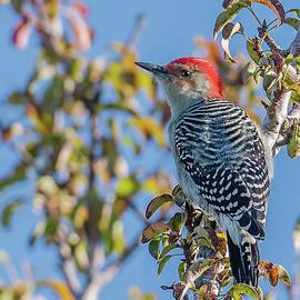 Red-Bellied Woodpecker by Morris Finkelstein