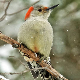 Michael Peychich - Red-bellied Woodpecker Snowy Day
