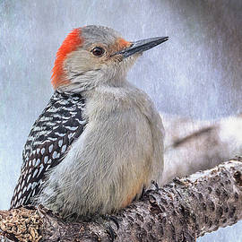 Patti Deters - Red-bellied Woodpecker
