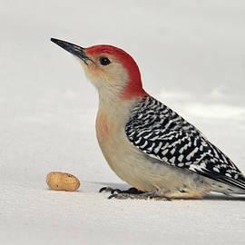 Geraldine Scull - Red Belly woodpecker in snow