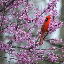 Diane Friend - Red Bird In A Redbud