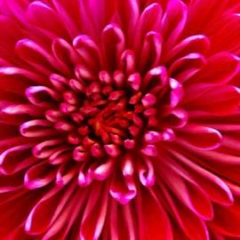 Eileen Brymer - Red Chrysanthemum