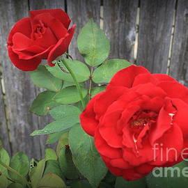 Dora Sofia Caputo Photographic Design and Fine Art - Red Country Roses
