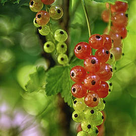 Red Currants by Norman Gabitzsch