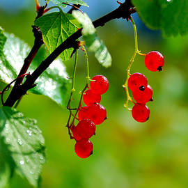 Yuri Hope - Red currants ripe