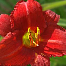 Kathy M Krause - Red Daylily Beauty