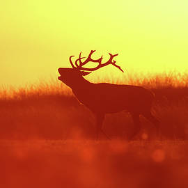 Red Deer in Red Light by Roeselien Raimond