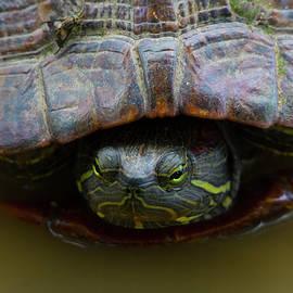 Red Eared Slider Turtle by Buddy Scott