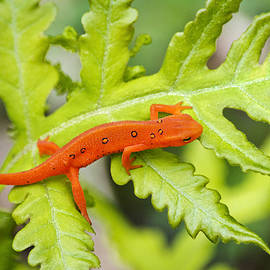 Red Eft Eastern Newt by Christina Rollo
