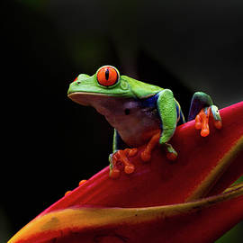 Janet Chung - Red Eye Tree Frog