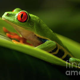 Red- Eyed Tree Frog Costa Rica 7 by Bob Christopher