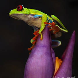 Bob Christopher - Red Eyed Tree Frog Costa Rica