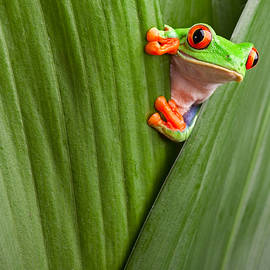 Red Eyed Tree Frog  by Dirk Ercken