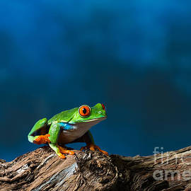 Red eyed tree frog by Les Palenik