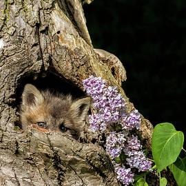 Lindley Johnson - Red Fox Baby