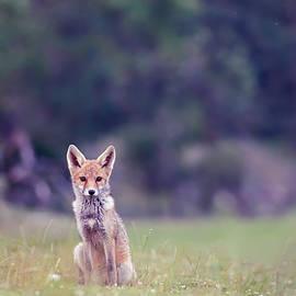 Red Fox - Blue Hour - Roeselien Raimond