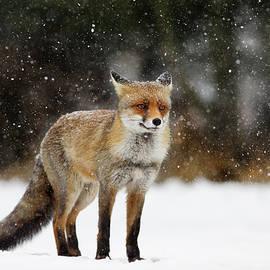 Roeselien Raimond - Red Fox in a Blizzard