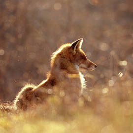 Roeselien Raimond - Red Fox in the Sun
