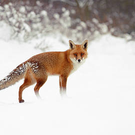 Roeselien Raimond - Red Fox in Winter Wonderland