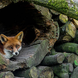 Red Fox in Woodpile