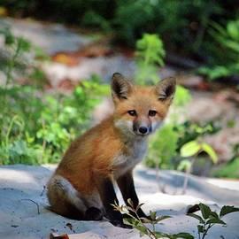 Cynthia Guinn - Red Fox Kit
