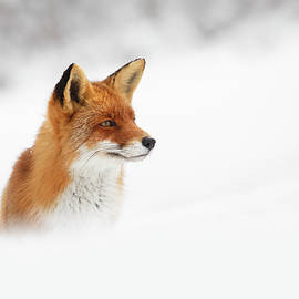 Roeselien Raimond - Red Fox out of the Blue