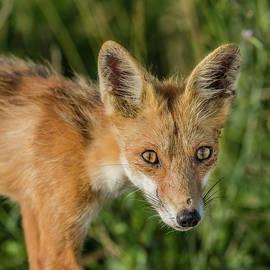 Red Fox Portrait by Morris Finkelstein