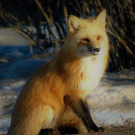 Red Fox Posing 2 by Tracy Bell
