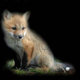 Tracy Bell - Red Fox Pup Portrait 2