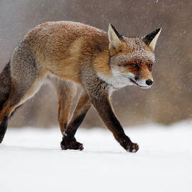 Roeselien Raimond - Red fox  running through a snowshower
